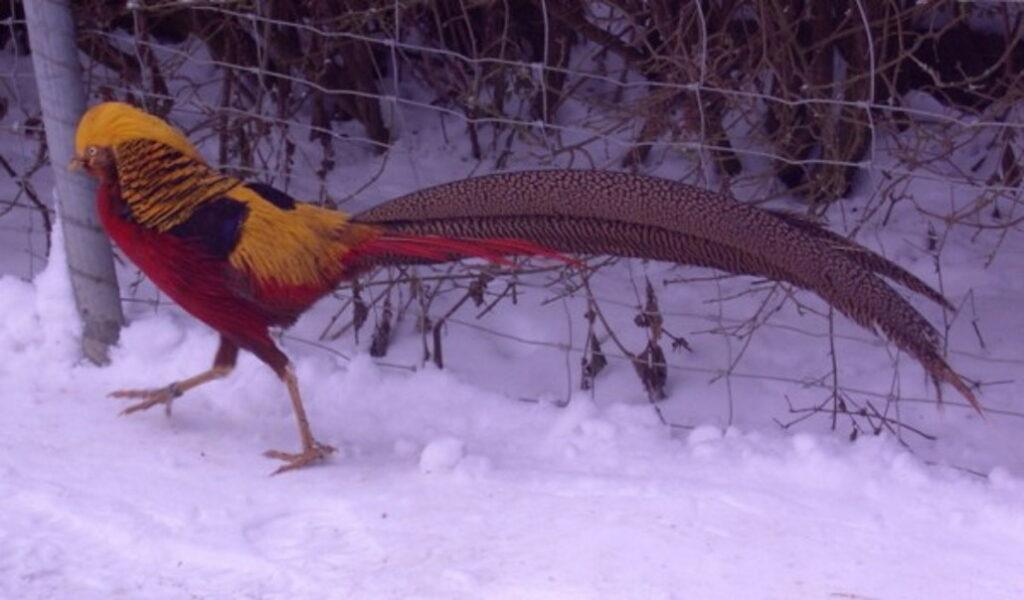 Frierender Goldfasan im Schnee