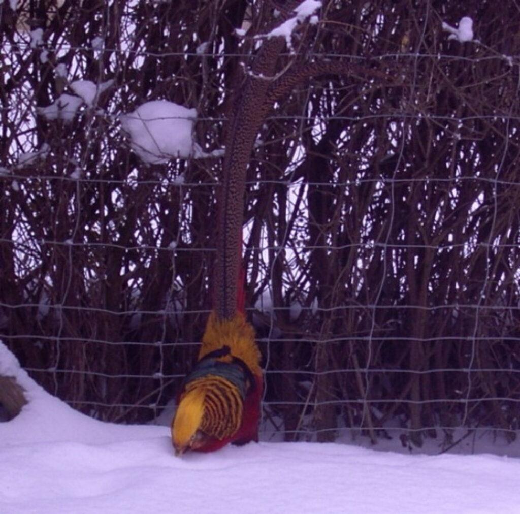 Goldfasan im kalten Schnee