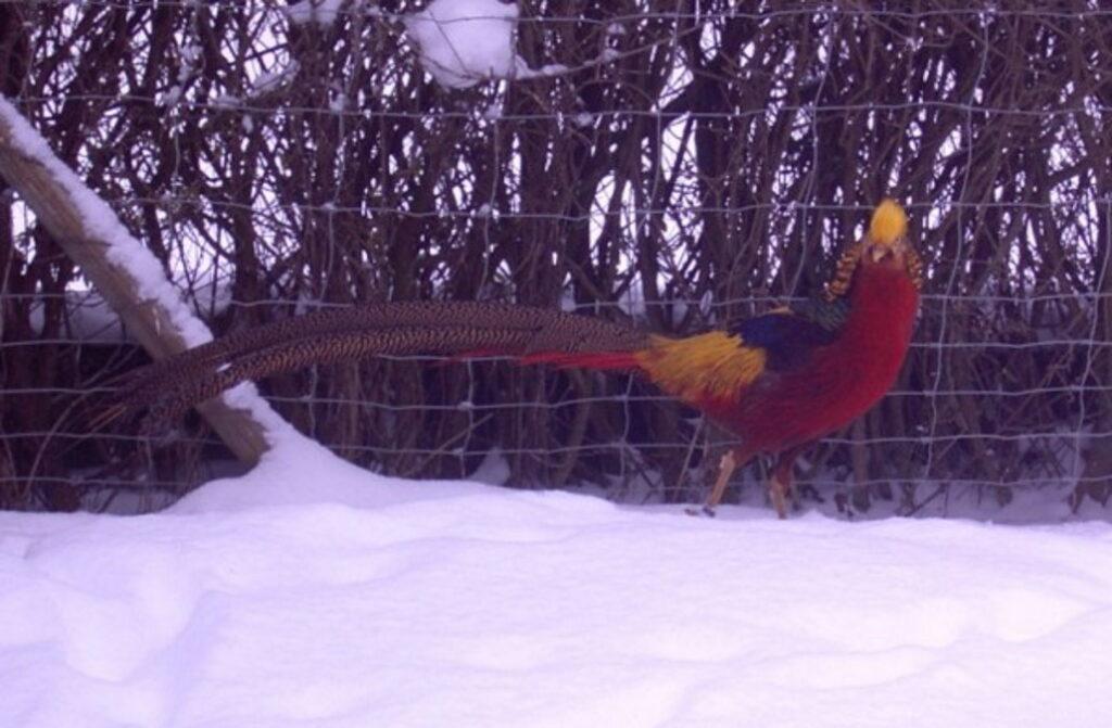 Goldfasan im Winter